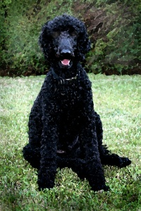 Standard_Poodle_black_male_sitting (2)
