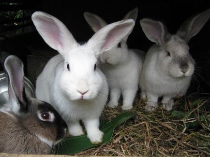 Conejos_en_una_conejera